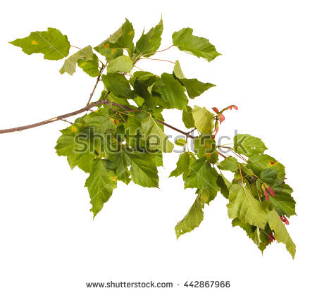 Silver Birch Leaves Form Hanging Border Stock Photo 2423933.