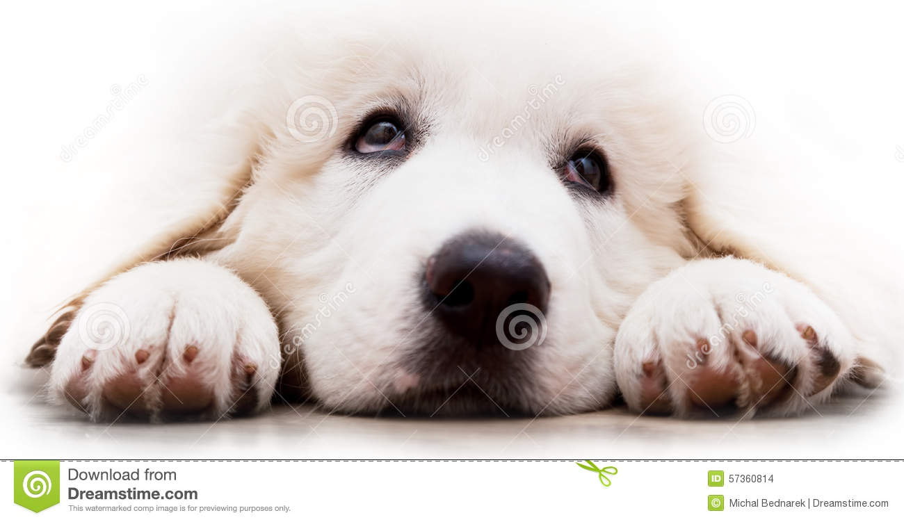 Polish tatra sheepdog clipart.
