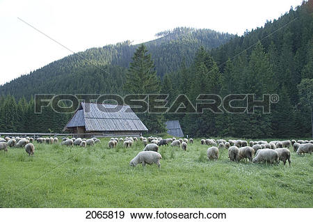 Stock Photograph of Mountain View With Sheep, Tatra Mountains.