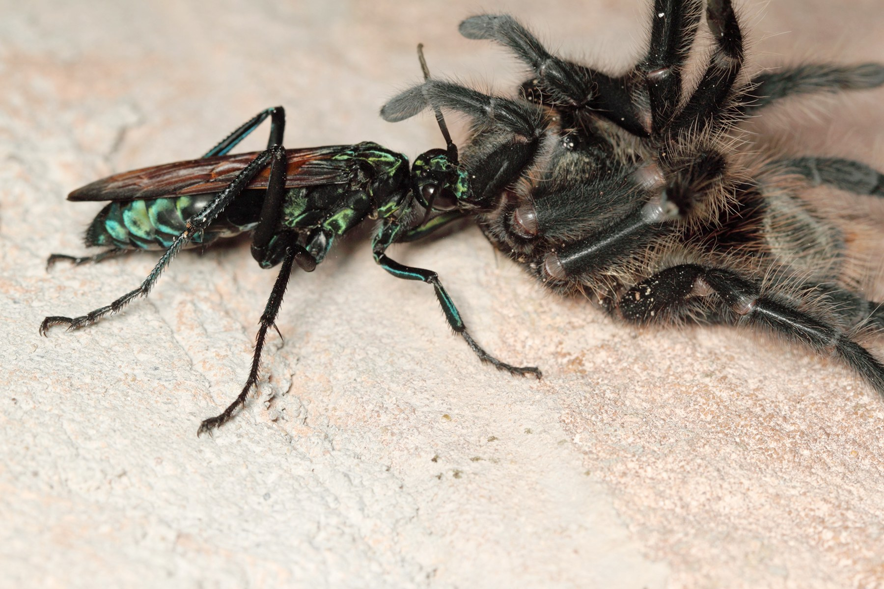 Absurd Creature of the Week: If This Wasp Stings You, 'Just Lie.