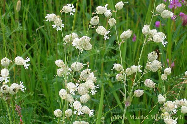 Silene vulgaris.