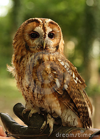 Tawny Owl In Profile Showing Facial Disc Royalty Free Stock Photos.