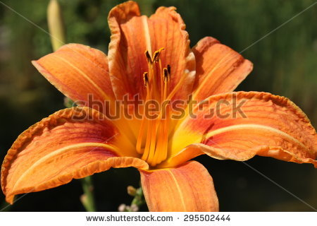 Fulvous Daylily Stock Photos, Royalty.