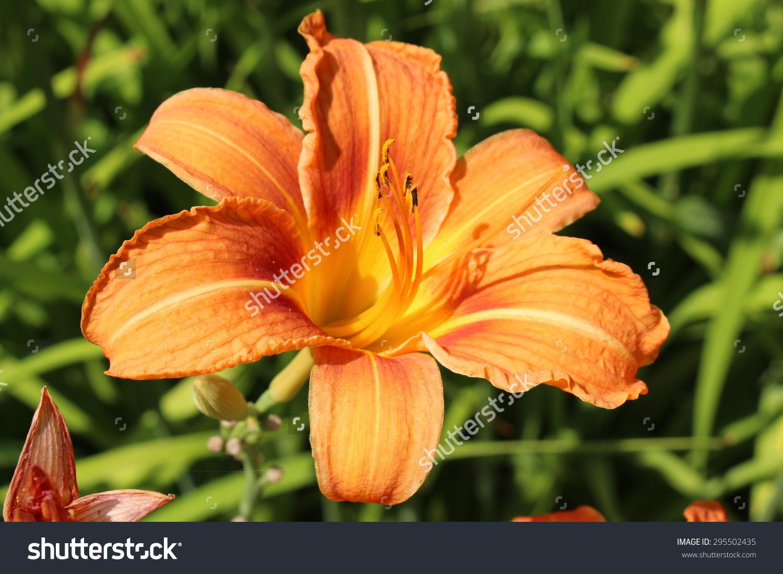 Tawny Daylily