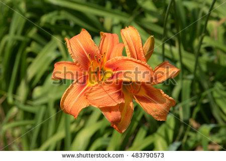 Daylilies Stock Photos, Royalty.
