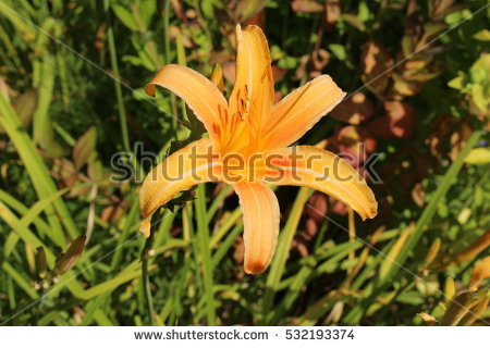 Tawny daylily clipart #17