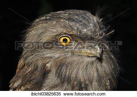 "Stock Image of ""Tawny Frogmouth (Podargus strigoides), portrait."
