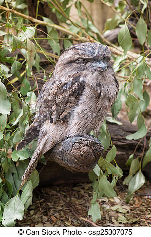 Picture of Tawny Frogmouth Owl perched on a branch. csp25307075.