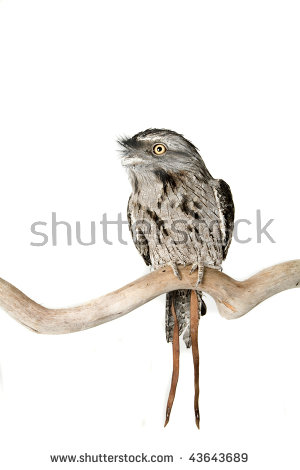 Tawny Frogmouth Owl Stock Photos, Royalty.