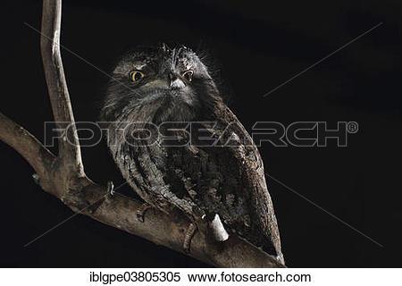 Stock Image of Tawny Frogmouth (Podargus strigoides.