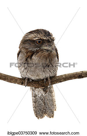 Stock Photograph of Tawny Frogmouth (Podargus strigoides.