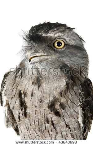 Owl Tawny Frogmouth Podargus Strigoides Australia Stock Photo.