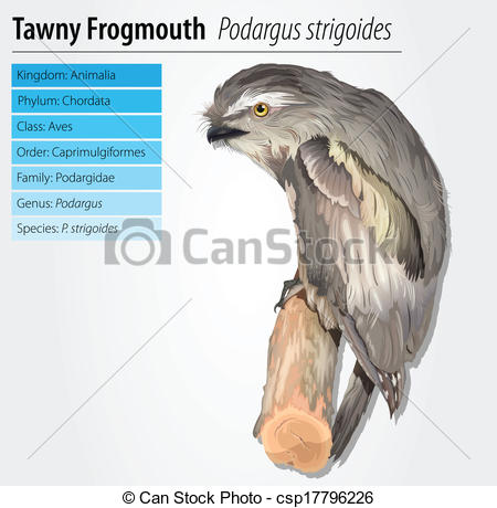 Vector Illustration of Tawny Frogmouth Owl.
