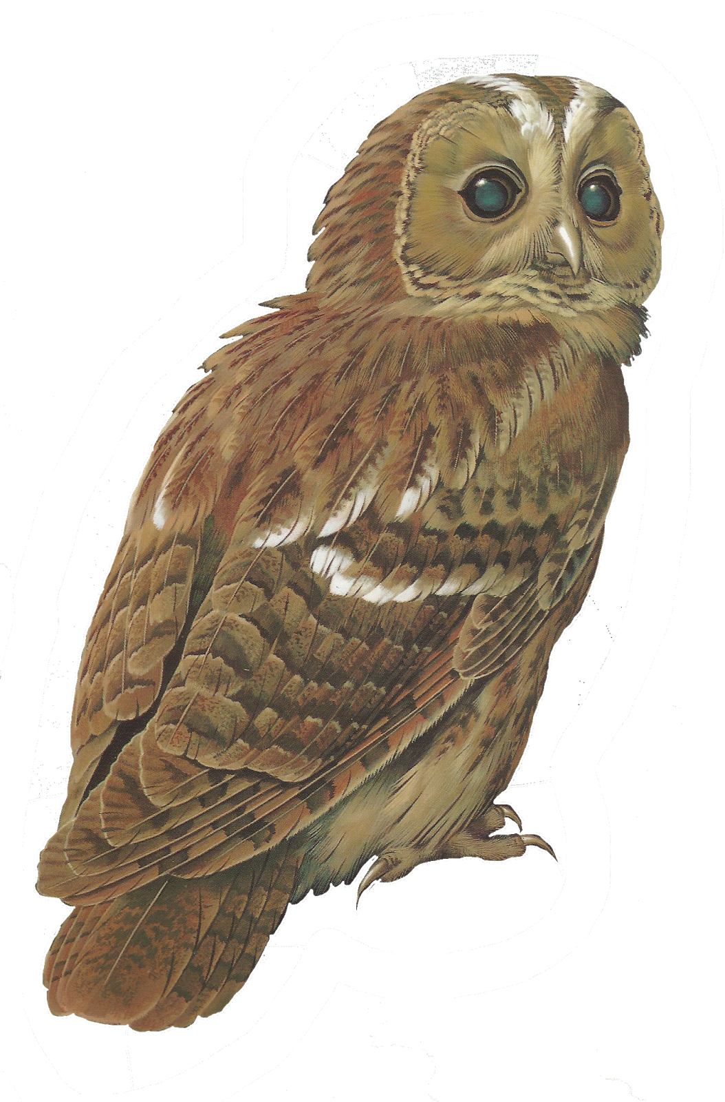 Tawny owl clipart - Clipground