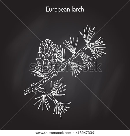 Botanical Illustration Common Yew Hand Drawn Stock Vector.