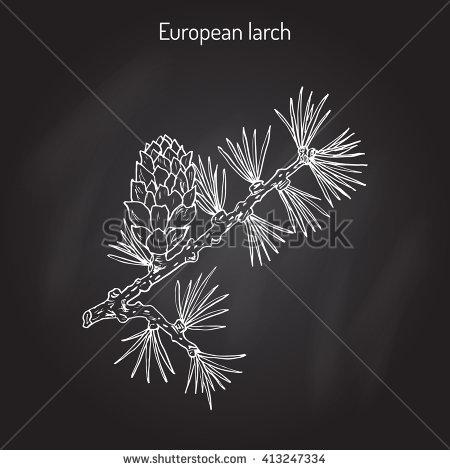 Botanical Illustration Common Yew Hand Drawn Stock Vector.
