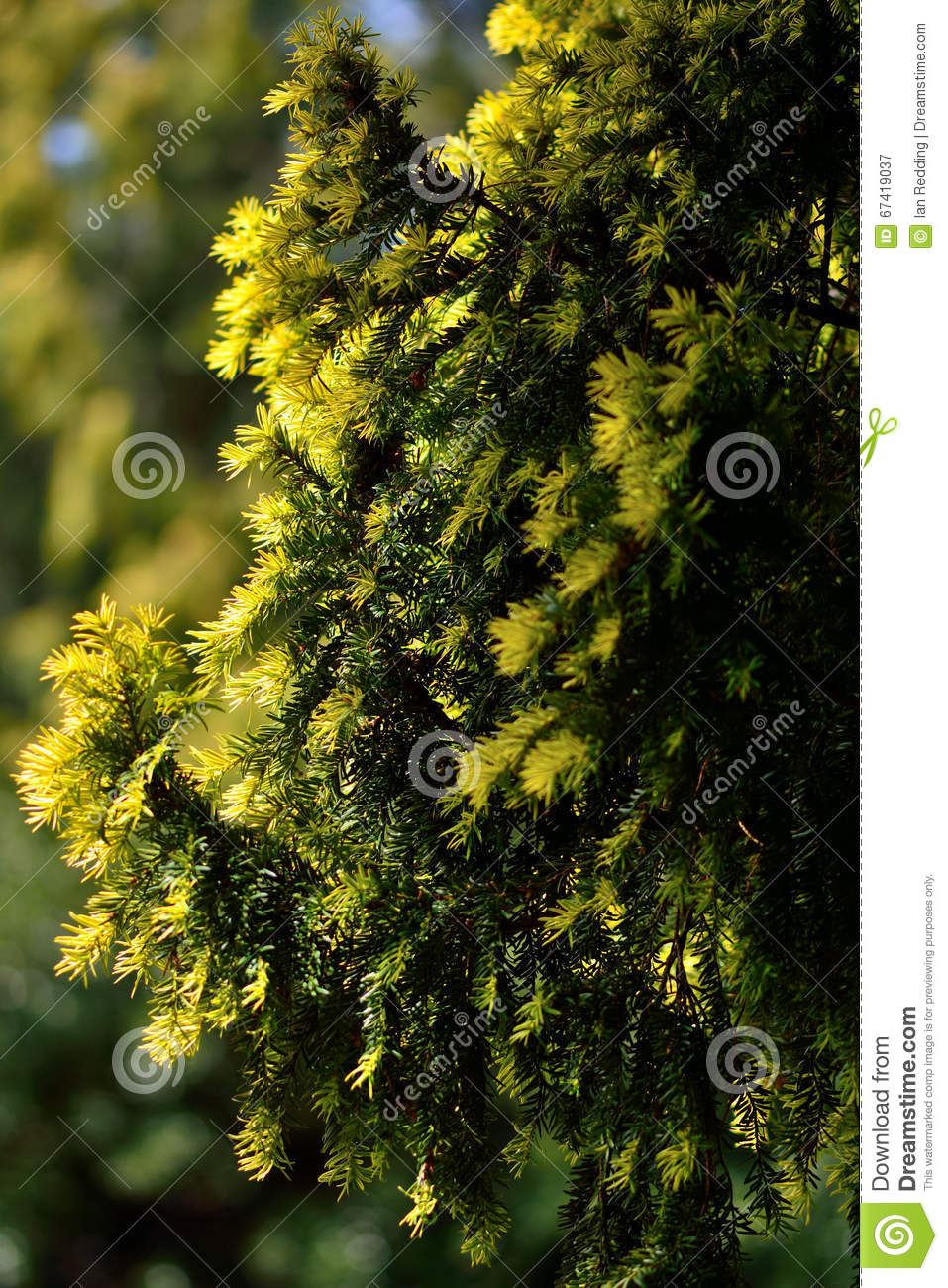 Yew (Taxus Baccata) With New Growth Stock Photo.