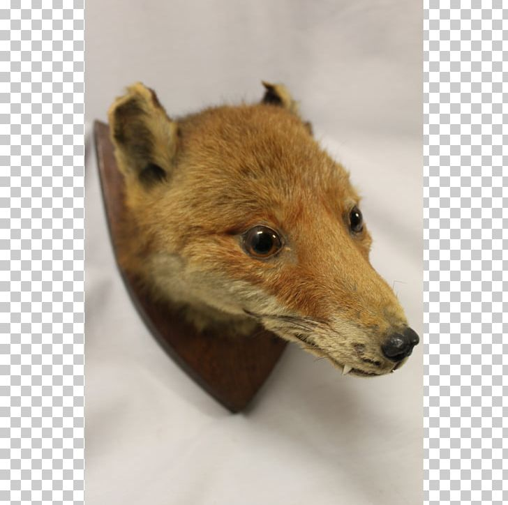 Red Fox Dhole Price Fur PNG, Clipart, Clock, Deer, Dhole.