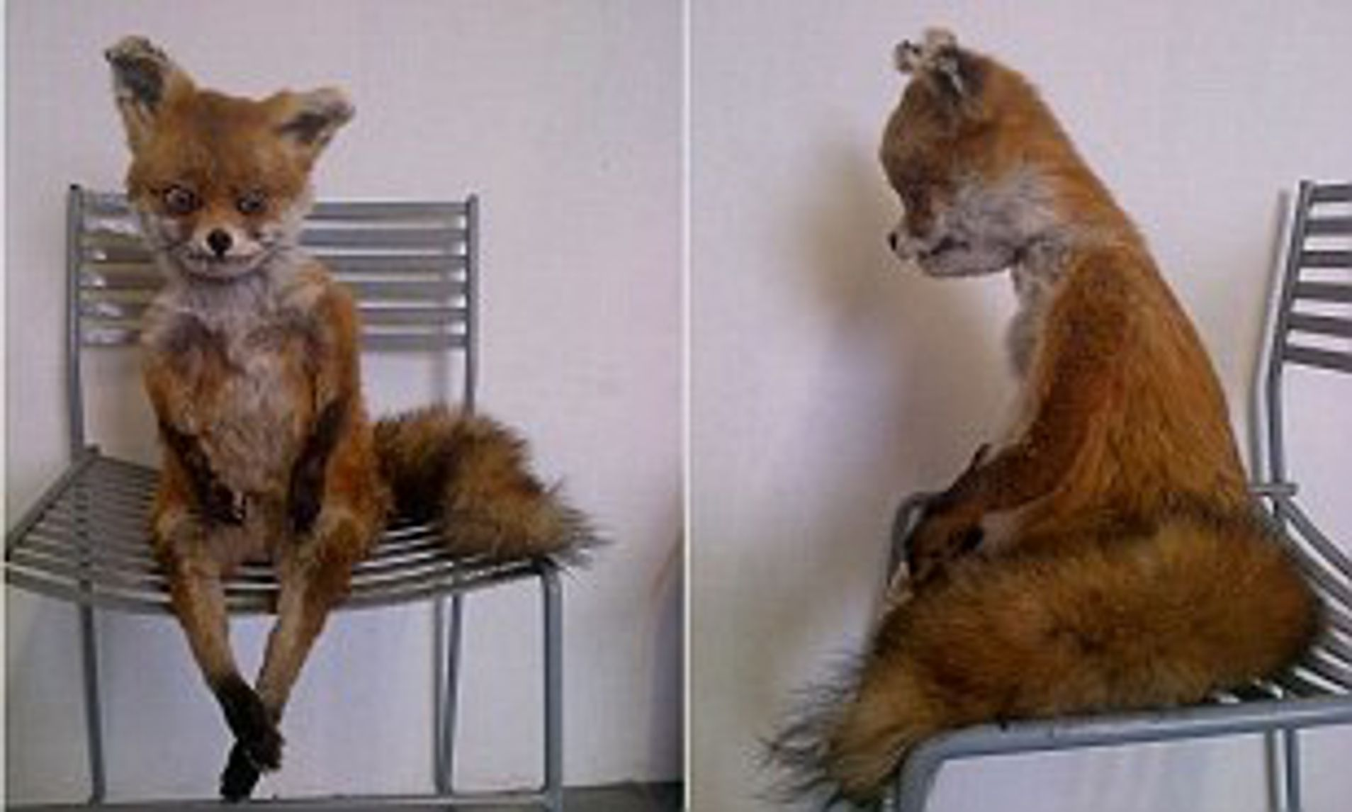 Meet Stoned Fox: The badly stuffed creature reborn as a.