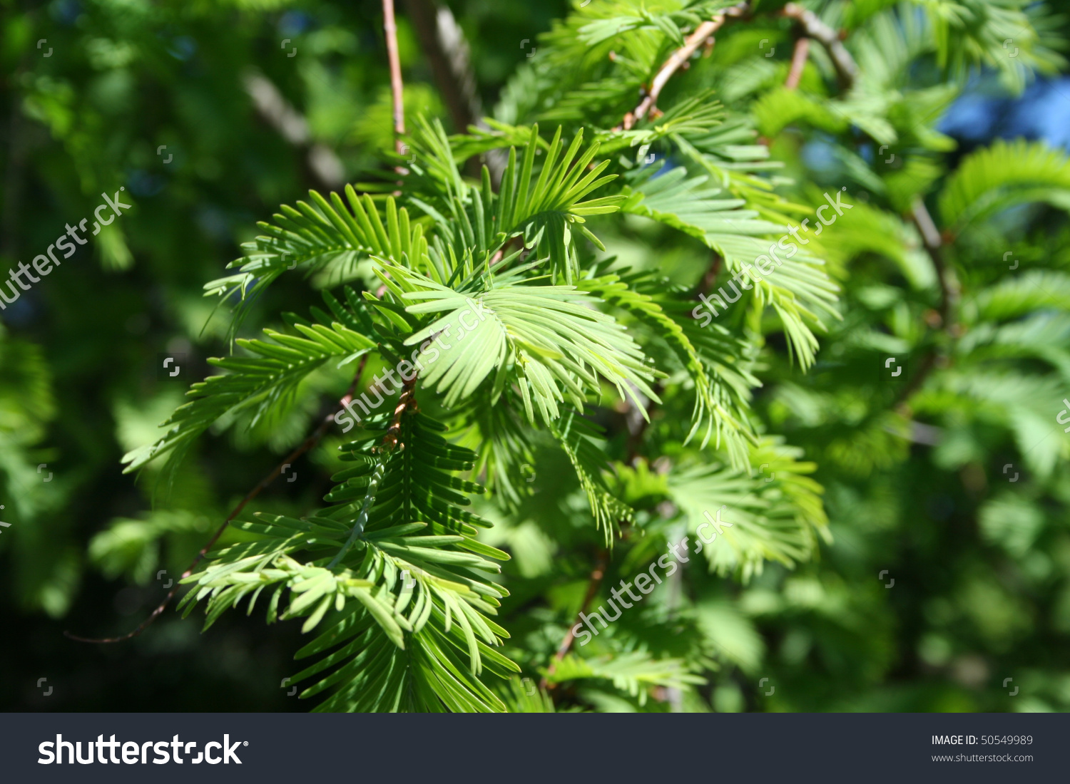 Chinese Redwood, Metasequoia Glyptostroboides In The Family.