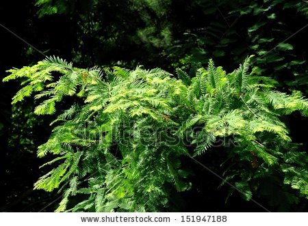 Metasequoia Glyptostroboides Stock Photos, Royalty.