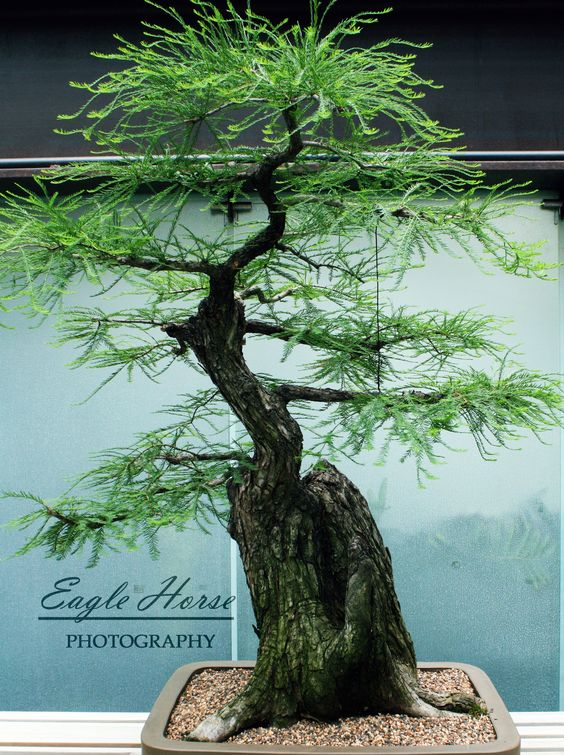 300yr old Bonsai. ???Montezuma Cypress.