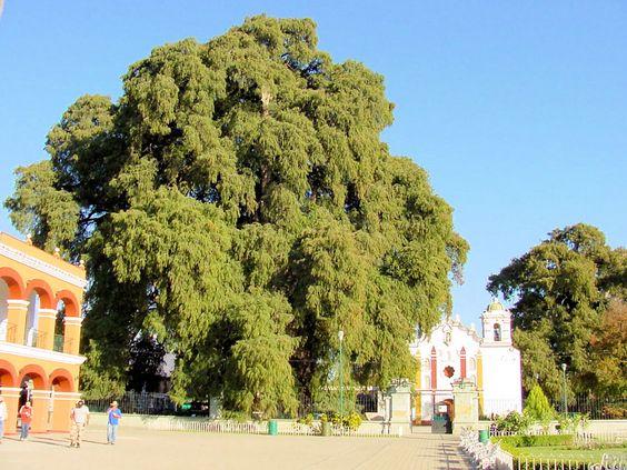 Tule Tree. Montezuma Cypress (Taxodium mucronatum), or Ahuehuete.