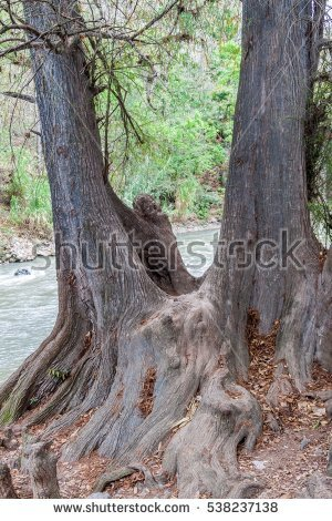 Olive Tree Roots Stock Photo 1609952.