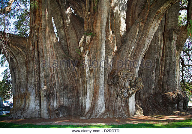 Taxodium Mucronatum Stock Photos & Taxodium Mucronatum Stock.