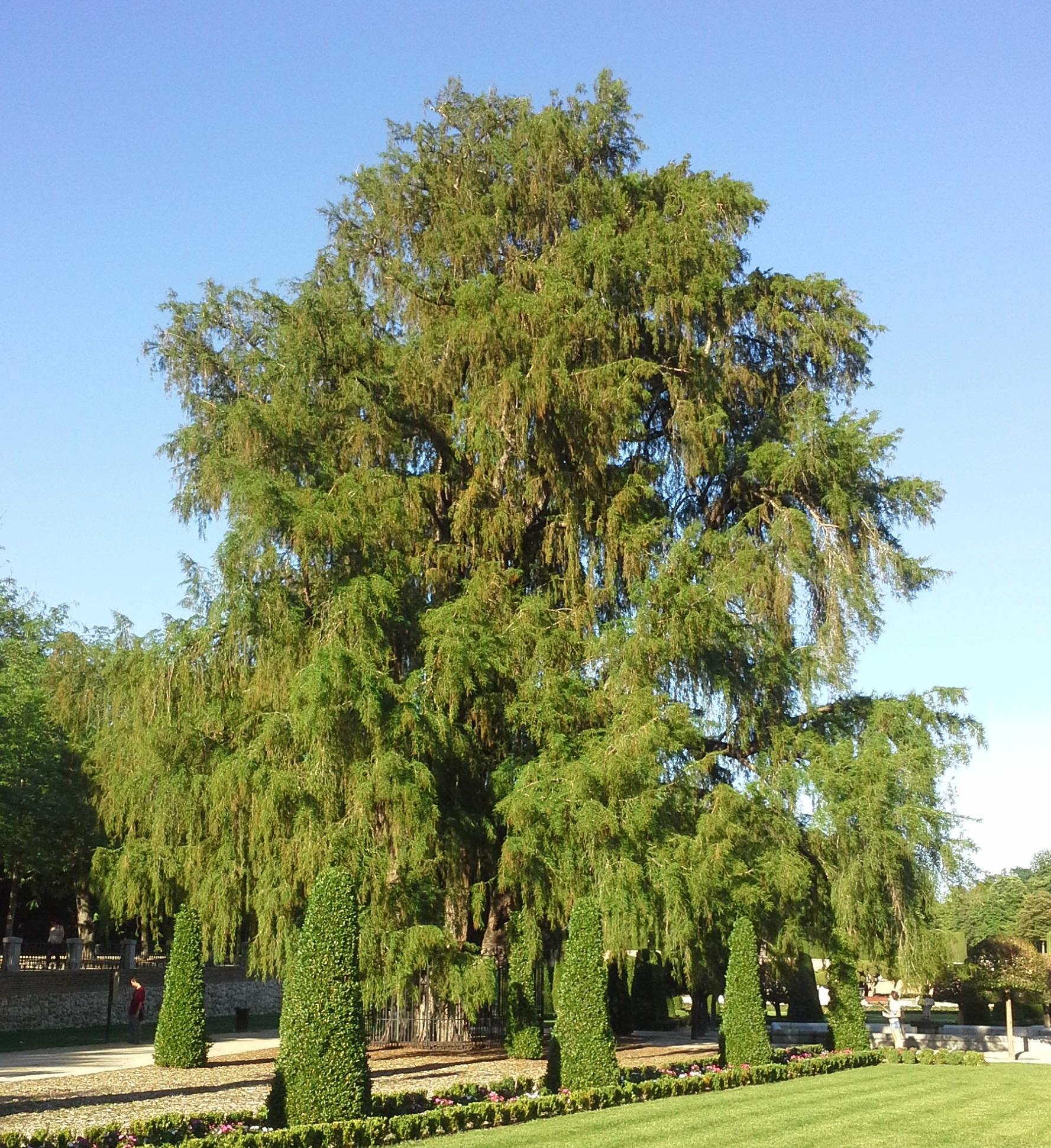 File:Taxodium mucronatum Retiro.jpg.
