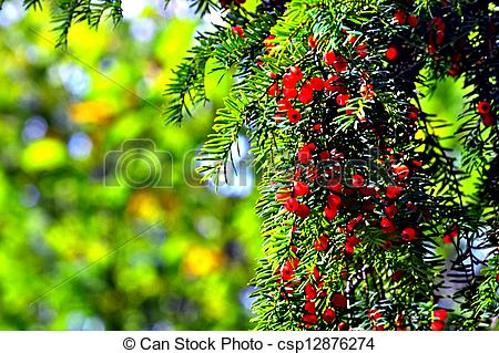 Picture of Red fruit with seeds Taxus baccata, Fantastically.