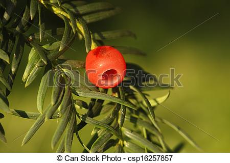 Stock Images of Yew tree, Taxus baccata, berry, autumn, Midlands.