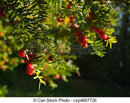 Stock Image of Taxus baccata.
