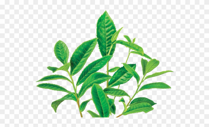 Clipart Leaves Green Tea Leaf.