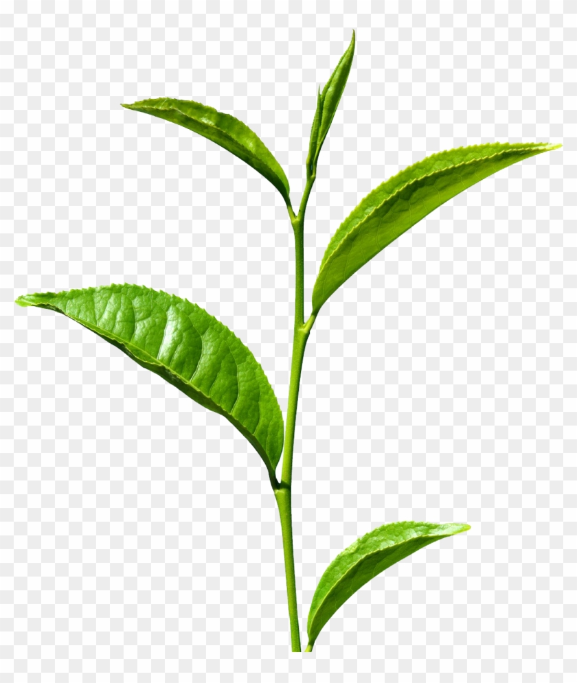 Green Tea Leaves Png, Transparent Png.