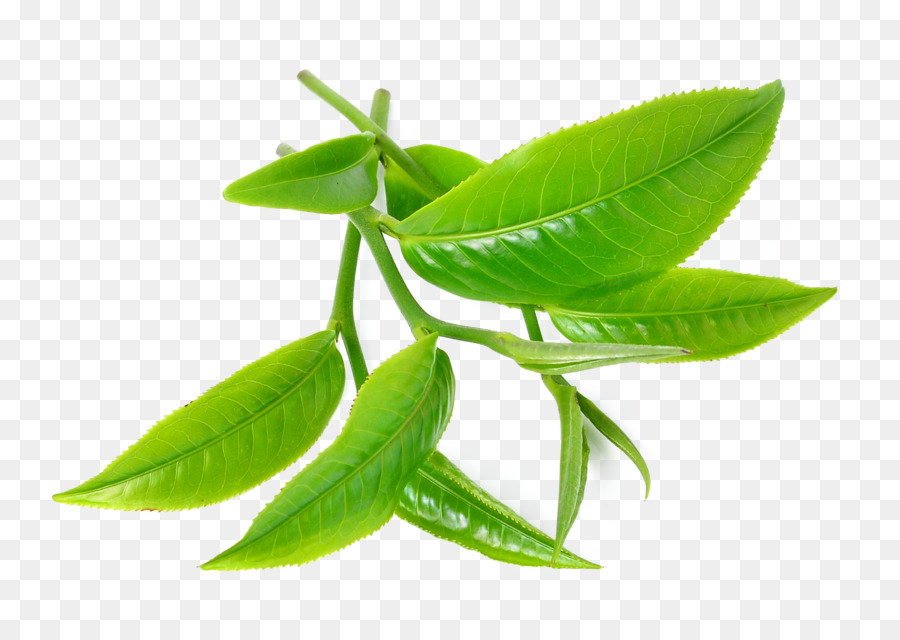Green Tea Tea Tree Oil Camellia Sinensis #189352.