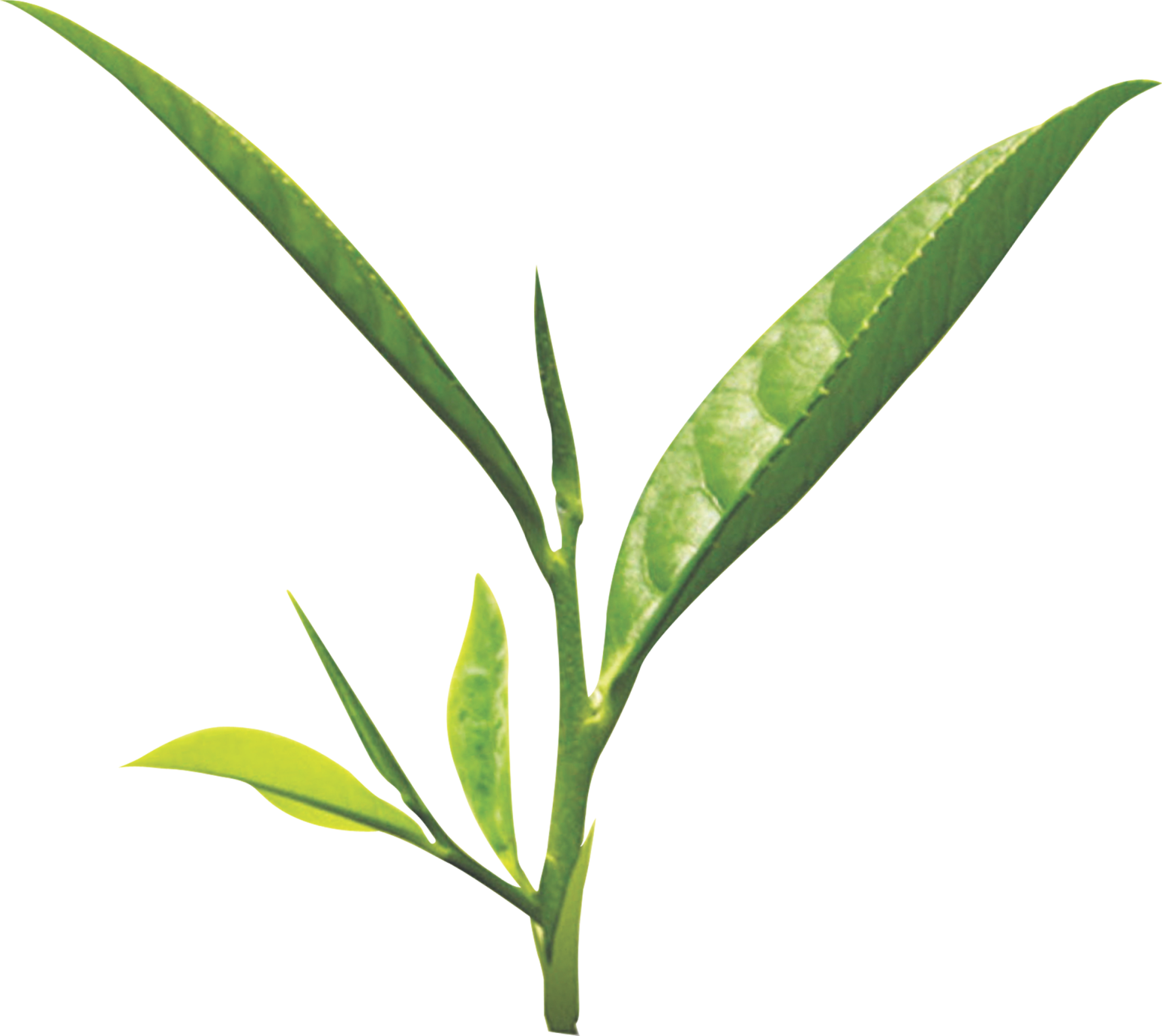 Tea leaf png images free download.