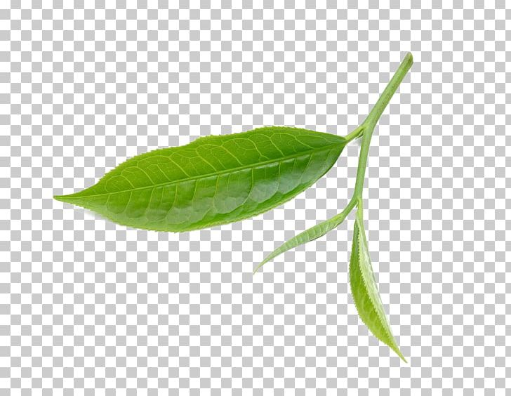 Tea Leaf PNG, Clipart, Adobe Illustrator, Autumn Leaves.