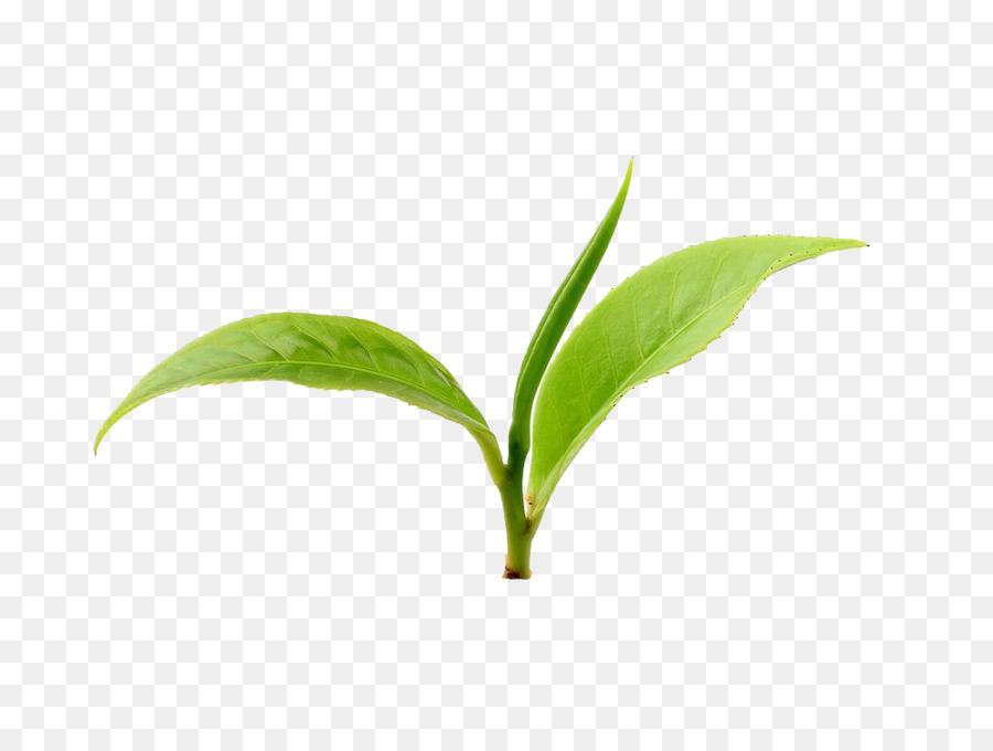 Tea Leaves Png (108+ images in Collection) Page 1.