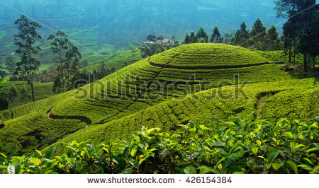 Tea Plantation Stock Images, Royalty.