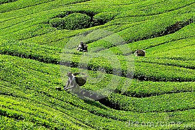 BOH Tea Plantation, Cameron Highlands, Pahang, Malaysia. Stock.