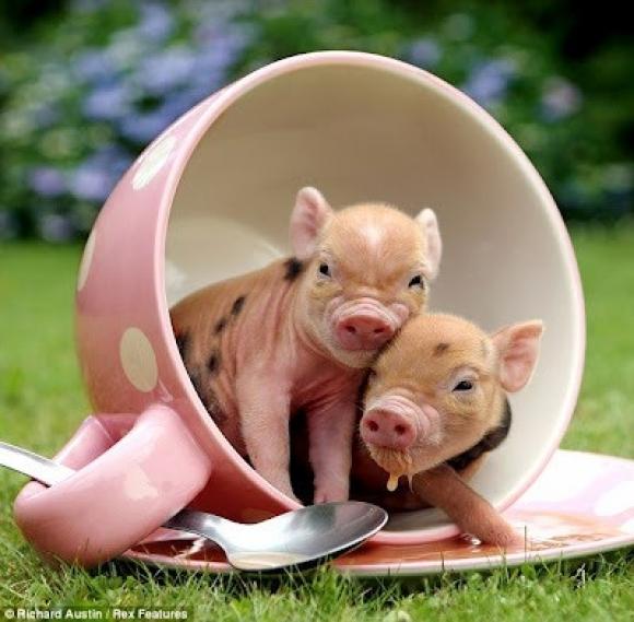 Teacup Pigs.