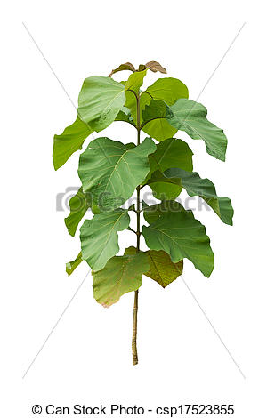 Stock Images of Teak trees in the white background. csp17523855.
