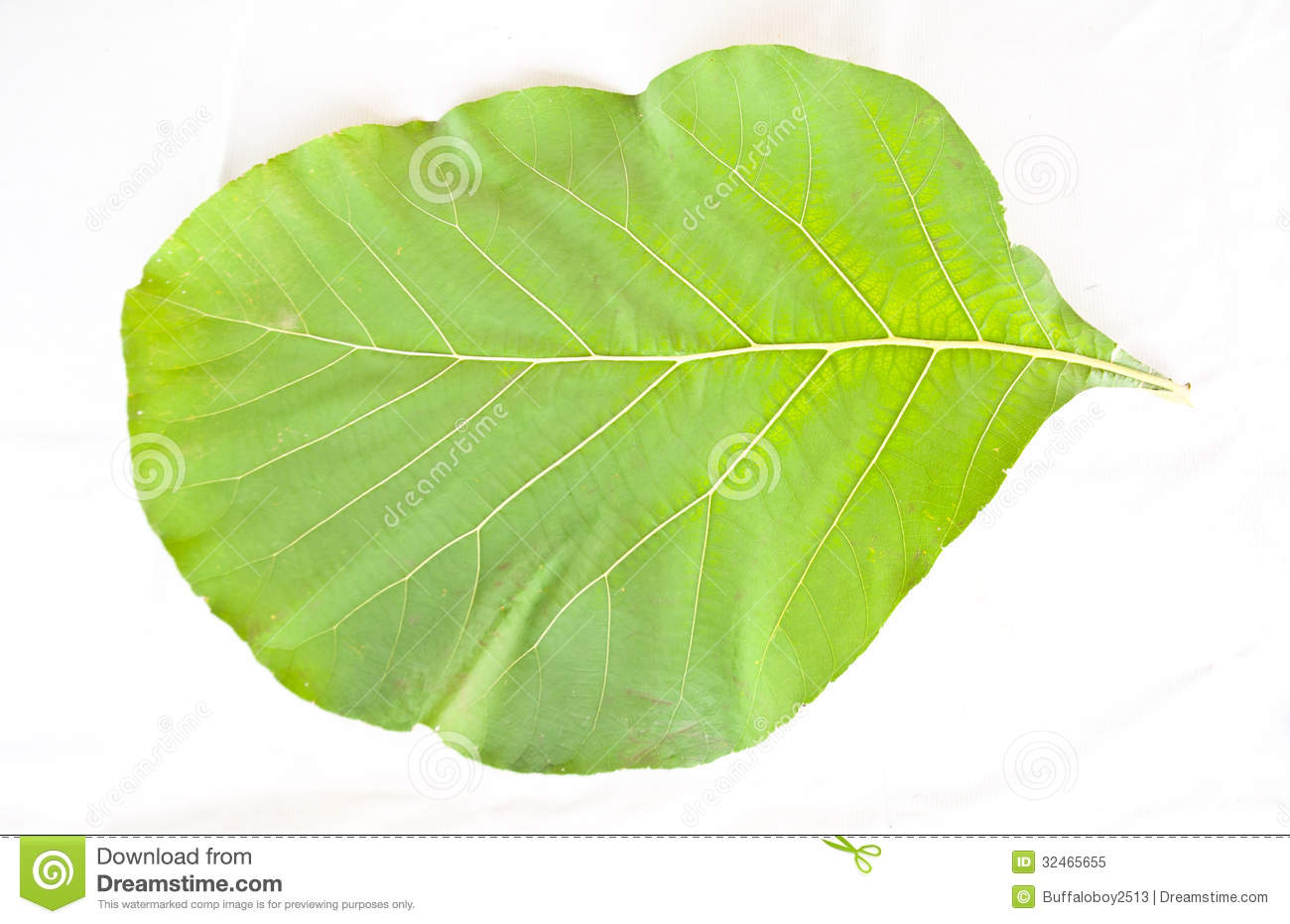 Teak Wood Leaf Stock Photos, Images, & Pictures.
