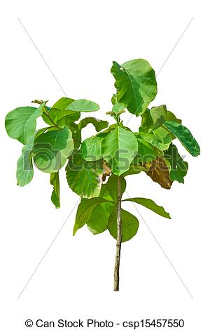 Teak tree Stock Photo Images. 2,888 Teak tree royalty free.