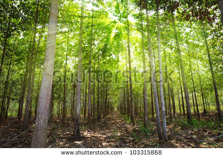 Teak Tree Stock Images, Royalty.