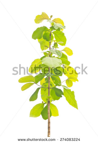 Young Teak Tree Isolated On White Background Stock Photo 274083224.