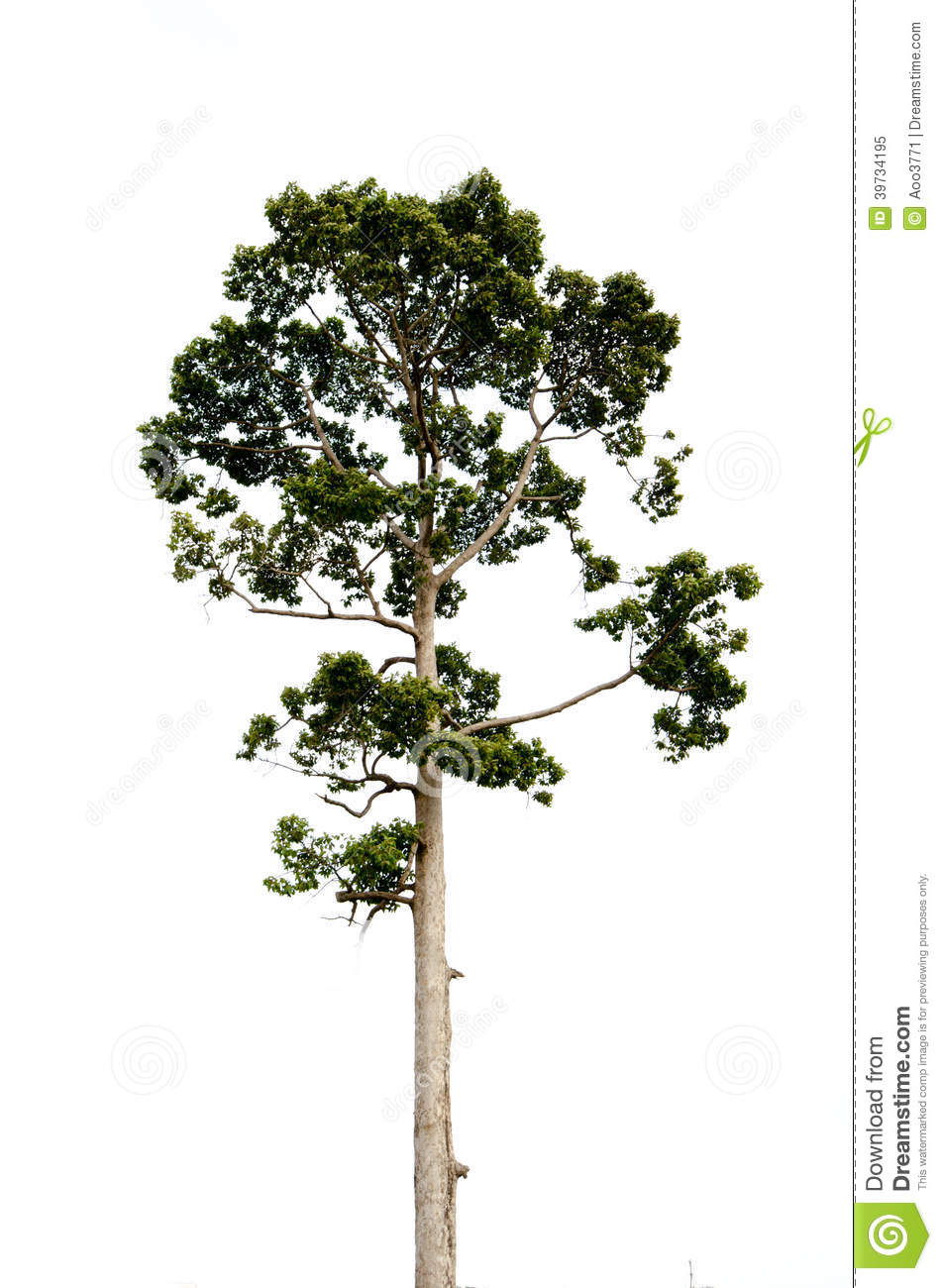 Teak Tree Isolated Stock Photo.