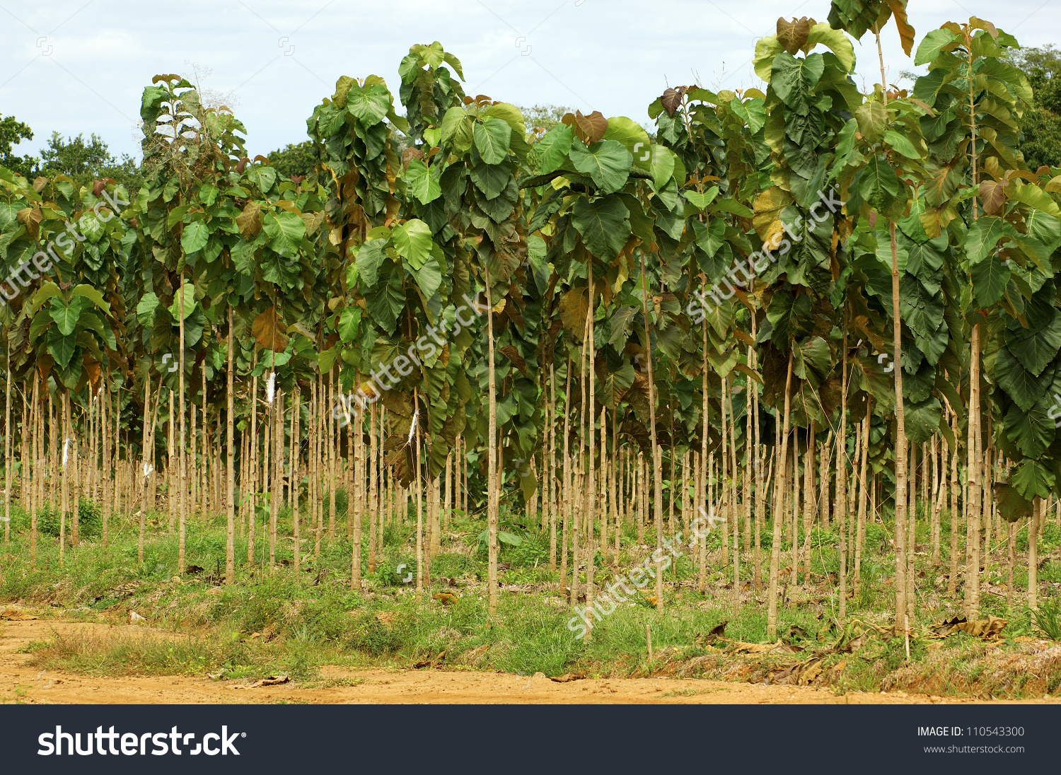Young Trees Teak Plantation Central America Stock Photo 110543300.
