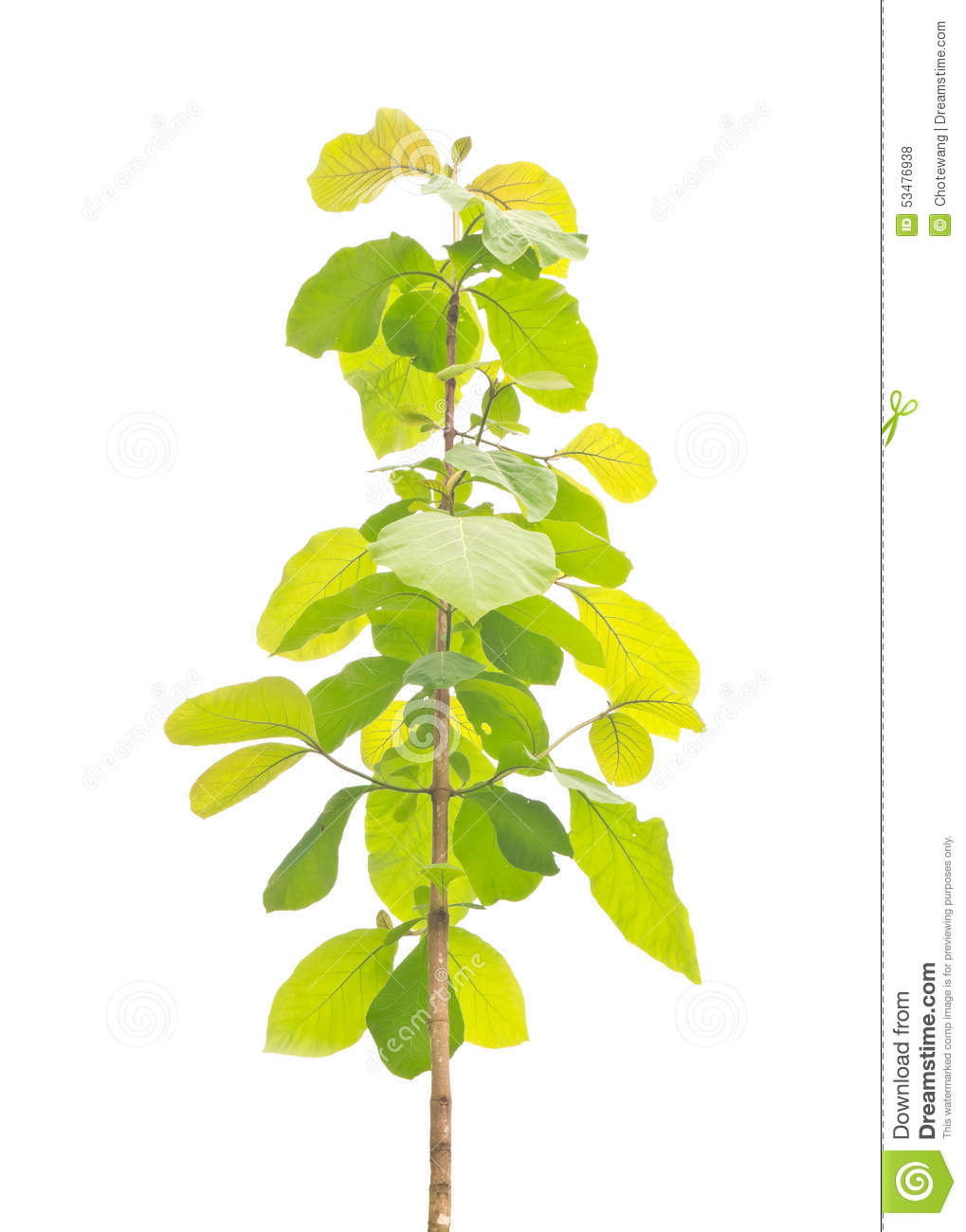 Young Teak Tree Stock Photo.